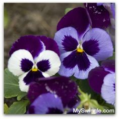Picture of the week: Pansies are a great choice for a fall garden and will be left blooming after all the other flowers in your garden have died off. It will also be amongst the first to bloom again come spring.