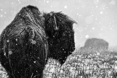 American Bison (by Animal Photography, Amazing Photography, Nature Photography, American Bison, American Indians, Native American, Heartland Of America, Power Animal, Sea To Shining Sea