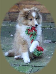 Shetland Sheepdog Puppy.