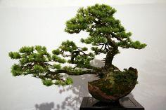 ajan fichte peicea jezoensis als bonsai bonsai b ume pinterest bonsai baum garten. Black Bedroom Furniture Sets. Home Design Ideas
