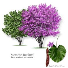 """Mexican Redbud. """"susceptible to overwatering in landscape settings.""""  Hah!  not in my yard.  :)"""