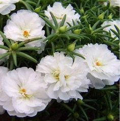 Portulaca Moss Rose, Blumensamen (DOUBLE White) Great In Containers - Christmas Deesserts Rare Flowers, Tulips Flowers, Planting Flowers, Beautiful Flowers, Portulaca Flowers, Portulaca Grandiflora, Porch Plants, Sun Plants, Light Blue Flowers