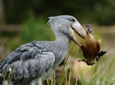 AFRICAN SHOEBILL moving a duck out of the way…duck was not harmed    Location: It lives in tropical east Africa, in large swamps from Sudan to Zambia    Status: Vulnerable    Facts:  The Shoebill, Balaeniceps rex also known as Whalehead is a very large bird related to the storks    It derives its name from its massive shoe-shaped bill