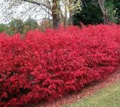 Dwarf Burning Bush euonymus alatus compacta The fiery autumn foliage of the Burning Bush makes it an excellent landscape plant… and it really draws attention when planted in rows. In summer, the soft