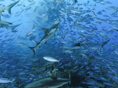 Grey Reef Sharks and Dark-Banded Fusiliers, French Polynesia Paul McKenzie / SuperStock