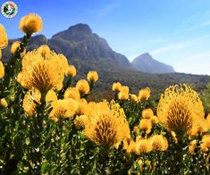 Table Mountain (Huri ‡oaxa, Tafelberg) Table Mountain, which overlooks Cape Town, is known for its