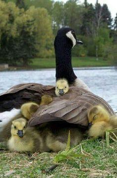 Canada Goose Baby Snow Bunting menta