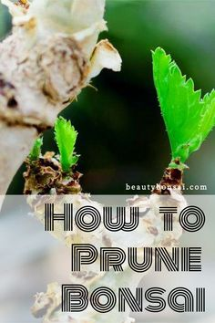Bonsai trees ought to just be pruned during a certain season. This is so that the tree can adequately heal the wound developed during pruning