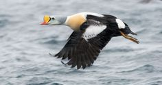 With the yellow knob on its beak, the king eider has a very distinctive face. Beautiful Birds, Most Beautiful, Duck Species, Duck Pictures, Colorful Birds, Wild Birds, Bird Feathers, Wildlife, The Incredibles