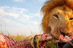 Beetlecam Gets Up Close And Personal With Lions In Kenya. A male lion is photographed with the remote controlled Beetlecam in Masai Mara, Kenya. Credit: Burrard - Lucas / Barcroft / Landov