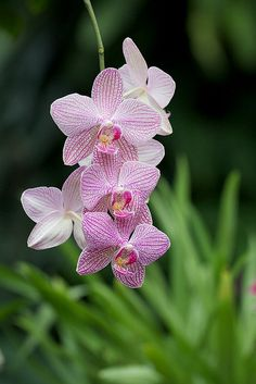 Monkey orchid rare flowers and dracula on pinterest for Portent of betrayal