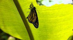 In Amazonica Blijdorp de hele cyclus van de Monarch, vlinder, eitje, rups, pop en weer vlinder.In Amazonica net als in de natuur, vlinder,eitje, rups, pop en...
