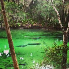 Blue Springs State Park Florida | Blue Springs State Park, Florida-- a manatee ... | Favorite places Iv ...