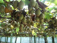 ZESPRI Gold Kiwifruit Orchard