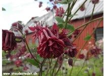 Aquilegia vulgaris plena 'Ruby Port' - Akeleje