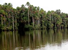 Discover the heart of the Amazon with Reserva Amazonica or Hacienda Concepcion // © 2014 TravelAge West #Peru