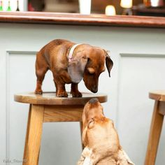 What do you want? - Gustav's Dachshund World and Friends