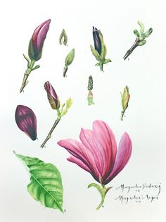 Botanical Art Online with Dianne Sutherland, botanical art courses | Student Gallery