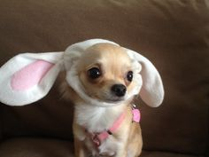 It's Coco the Easter Chi!