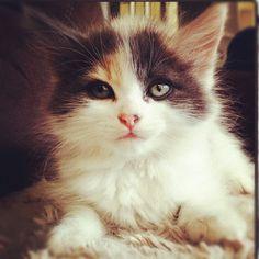 Shoutout to the #kittensofinstagram kitten of the day @seanpain 💙🐱 #kitten #cute #adorable #sweet #little #baby #cat #love #tagsforlikes #dogs