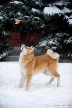 The difference between a shiba inu and a Akita inu are really big Japanese Akita, Japanese Dogs, Akita Dog, Beautiful Dogs, Animals Beautiful, Cute Animals, Cute Puppies, Cute Dogs, Dogs And Puppies