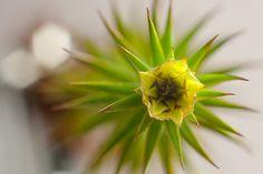 Polytrichum juniperinum - patří mezi nejdokonalejší a nejznámější rody mechů.