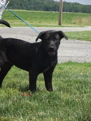 ADOPTED!! Shelton is an adoptable Labrador Retriever Dog in Defiance, OH.