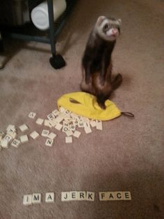 """""""Ferret Shaming"""" Not exactly something I can make, but pretty accurate for my ferret, Morty. Ferret Toys, Baby Ferrets, Funny Ferrets, Funny Dogs, Pet Ferret, Animals And Pets, Cute Animals, Animal Projects, Animaux"""