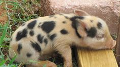 baby+pigs+pictures | Baby Pig. Now What?-913871.jpg