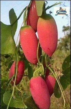 What is this fruit? Mango Fruit, Fruit And Veg, Fruits And Vegetables, Fresh Fruit, Fruit Plants, Fruit Garden, Fruit Trees, Weird Fruit, Strange Fruit