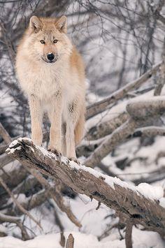 wolf in snow #wolf #snow #animals
