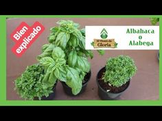 🌱 la ALBAHACA cuidados CONSEJO 💚 [BIEN EXPLICADO] - YouTube Diy Planters, Planter Pots, Plantar, All Flowers, Growing Vegetables, Garden, Youtube, Gardening, Home