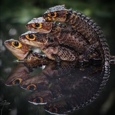Are you thinking of buying a tortoise to keep? Tortoise pet care takes some planning if you want to be. Animals Of The World, Animals And Pets, Cute Animals, Bizarre Animals, Cute Reptiles, Reptiles And Amphibians, Red Eyed Crocodile Skink, Leopard Gecko Cute, Reptile Zoo