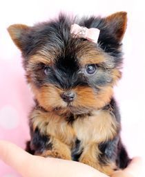 """Tiny TeaCup Yorkshire Terrier """"Yorkie"""" Puppy by TeaCupsPuppies.com #yorkshireterrier"""