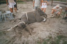 circus elephant training