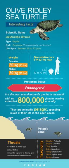Olive Ridley Sea Turtle Intresting Facts in our new ‪#‎infographic‬…