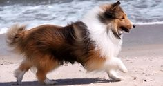 Sheltie @ the Beach