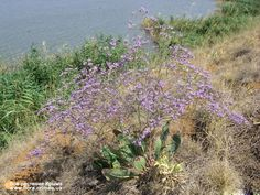 Limonium platyphyllum (Sea Lavender) Archipelago, Garden, Plants, Silver, Lilac, Garten, Lawn And Garden, Gardens, Plant