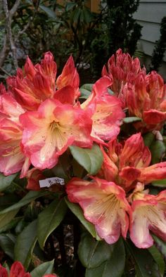 """Rhododendron """"Moana Loa""""  A real showstopper! Photo by Jan R.Fuller"""