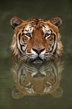 BENGAL TIGER - The strongest living land creatures on Earth measured by their power to weight ratio Beautiful Cats, Animals Beautiful, Cute Animals, Wild Animals, Baby Animals, Big Cats, I Love Cats, Cats And Kittens, Especie Animal
