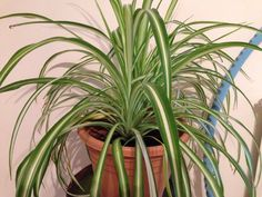 Spider Plant (chlorophytum comosum): Your plant's grassy foliage indicates it is a spider plant. Mature spider plants bear small white clusters of flowers and small offsets (baby plants) at the end of elongated stem. Both 'Vittatum' and 'Variegata' have white striped leaves. Easy to grow in baskets to best display the babies that fall on long stems, giving the plant its other common name, airplane plant. Well-drained potting mix, water sparingly - only when the soil feels dry to the touch.