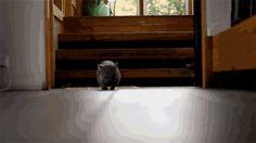 wombat--mignons-australie