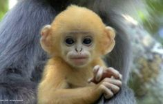 yes, we have more fun, why do you ask?   Baby Phayre's Leaf Monkey