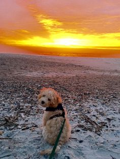 Another DownUnder Labradoodles USA puppy hanging out at the beach in Florida. Labradoodles, Florida Beaches, Hanging Out, Puppies, Usa, Dogs, Animals, Cubs, Animales