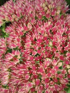 Tuinplanten voor vlinders   Hemelsleutel. Bloeit van juli t/m september.