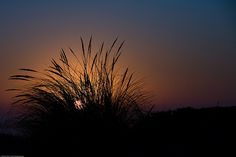 Sunset on the Morro Strand State Beach as seen through the silhouette of a dune grass cluster