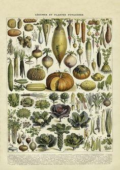 Gemüse - Vintage Kunstdruck - Giclée  von Discoverprints auf DaWanda.com