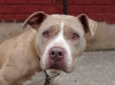 URGENT - Brooklyn Center    LITTLE MAMA - A0993218   FEMALE, TAN / WHITE, PIT BULL MIX, 3 yrs  STRAY - STRAY WAIT, NO HOLD Reason STRAY   Intake condition NONE Intake Date 03/06/2014, From NY 11691, DueOut Date 03/09/2014 https://www.facebook.com/photo.php?fbid=768452106501004&set=a.768452086501006.1073743030.152876678058553&type=3&theater