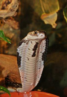 Naja siamensis Indochinese Spitting Cobra