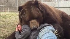 Jim and Jimbo (the bear) cuddle and enjoy each other's company at the Orphan Wildlife Center in New York.